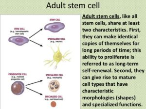 Adult -stem-cell